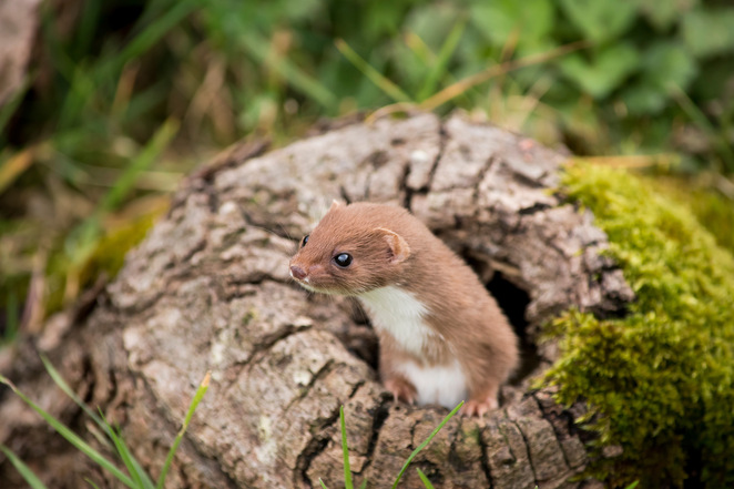 British wildlife, British animals, wildlife photography, things to do in Surrey, photography course, weasel