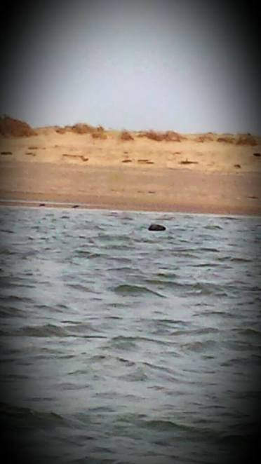 beans seal trips, seal trips, seals, seal, boat, boat trip, boat trip north norfolk, norfolk boat trips, norfolk seal trips, seal trips in norfolk, blakenye point norfolk, blakenye point seals, blakenye point boat trips, blakenye point seal trips, seals norfolk, norfolk coast