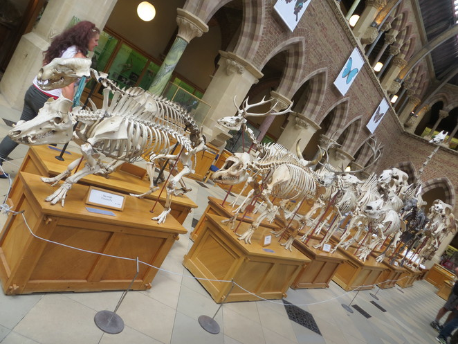 skeletons, museum, natural, history, oxford