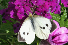 butterfly, large white, big butterfly count, conservation
