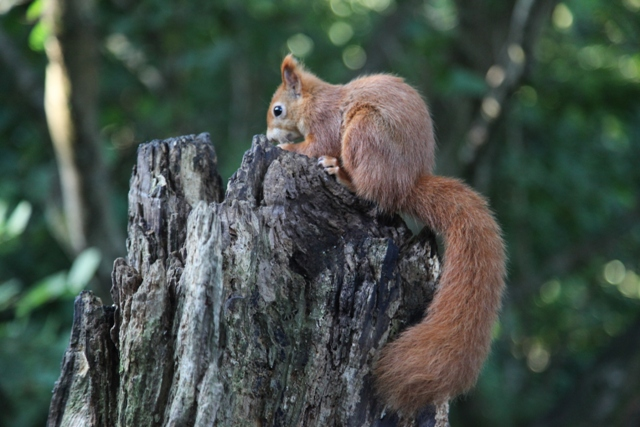 Red squirrel, Isle of Wight, Cycle Path, Sustrans Route 23