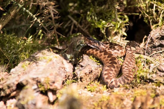 snelsmore, summer activities, days out in Berkshire, wildlife, country park, family picnic, West Berkshire, adder, British snakes