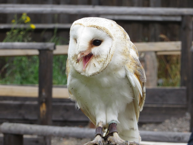 barn owl, millets farm, falconry