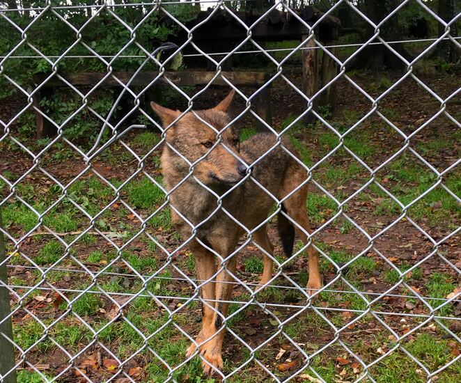 wolf,breeding,rare,dartmoor zoo,animal,european