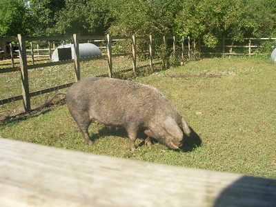 boar, pig, deen city farm
