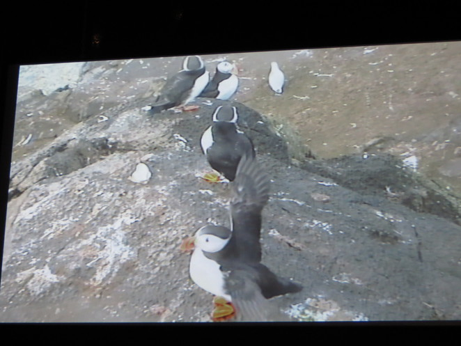 puffins, scottish seabird centre, north berwick