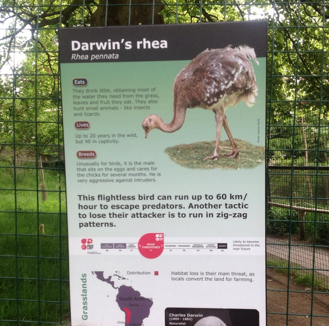 Darwin's, rhea, edinburgh zoo