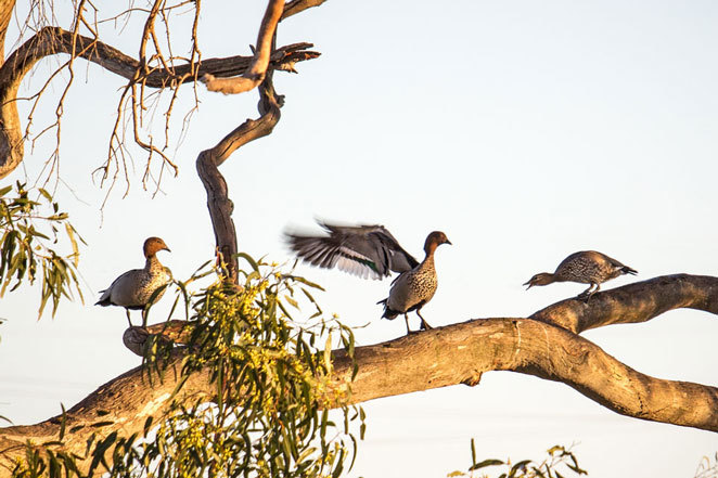 ducks, tree, quacks, birds, May Cross, medicine