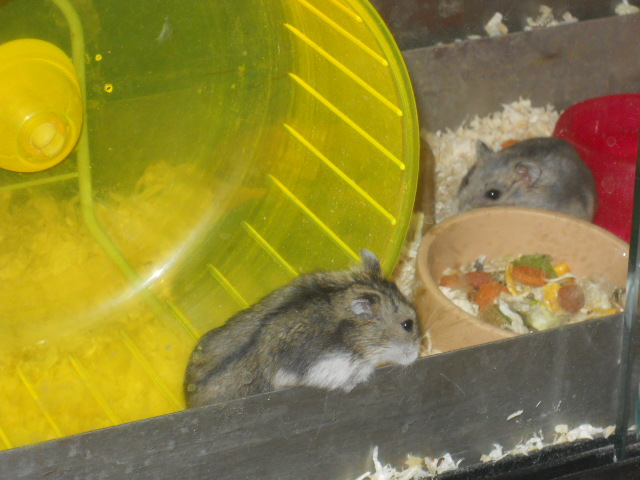 pets at home, hamsters