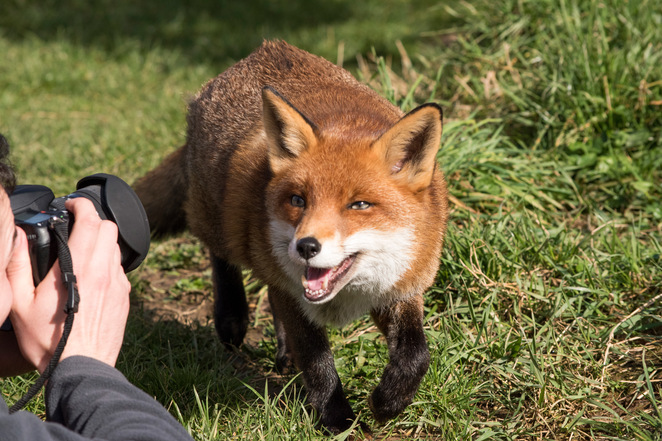 British wildlife, British animals, wildlife photography, things to do in Surrey, photography course, mammals, foxes,
