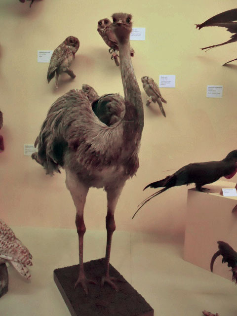 natural history museum, ostrich