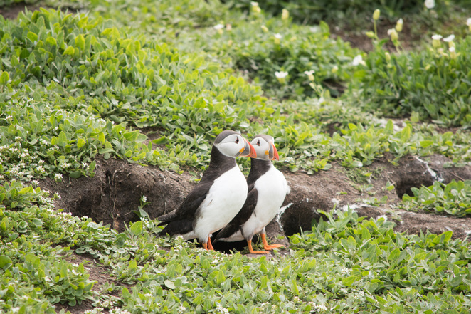 Puffin colony, puffin burrows, Northumberland wildlife, puffins boat trip