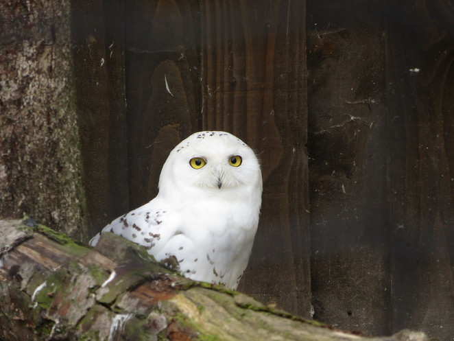 snowy owl millets farm falconry