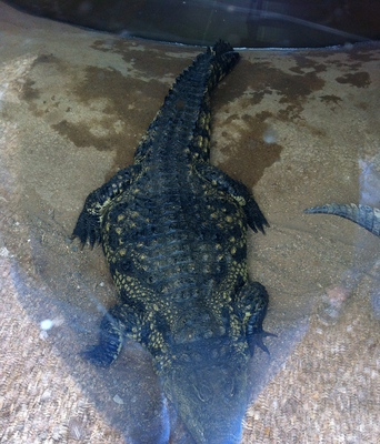crocodile, crocodile farm, crocodile zoo, crocodile meat