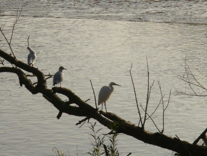 Tamworth, River Anker, River Tame, heron