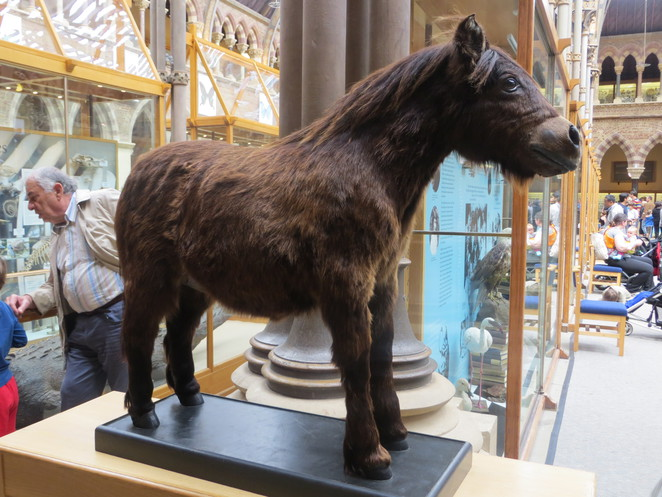shetland, pony, oxford, museum, natural, history