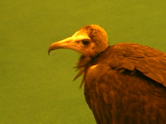 london pet show, bird of prey, vulture