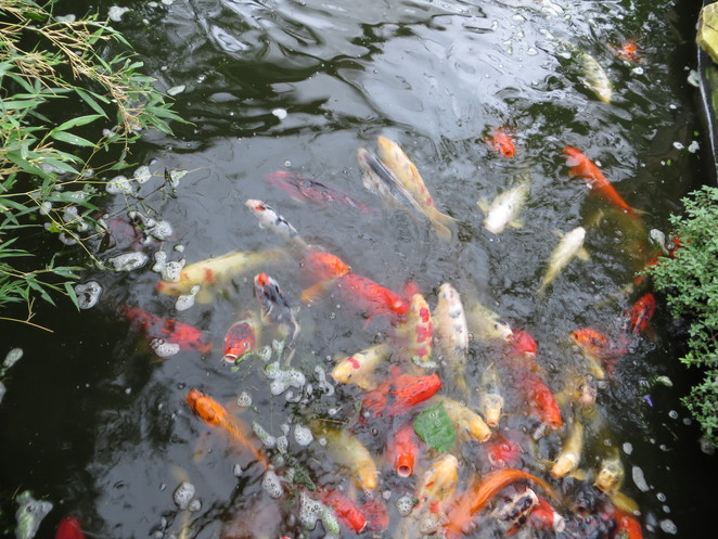 pond, fish, carp, studley grange, butterfly world, wiltshire