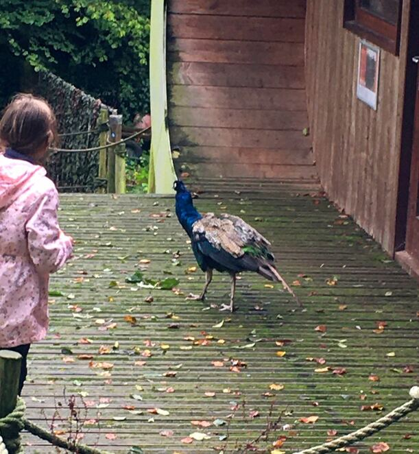 Peacock,dartmoor zoo,animals,england,conservation