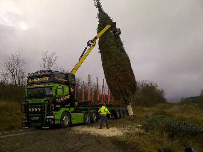 Felling a Christmas Tree in Kielder Forest