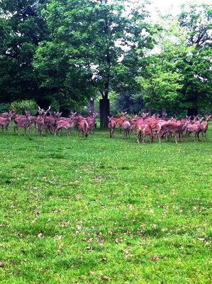 woburn abbey, woburn abbey deer park, woburn abbey wedding, woburn abbey building, woburn deer, woburn abbey deer park, deer, deer park, free roaming deer, herd of deer