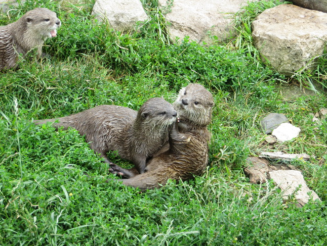 otters, studley grange, butterfly world, wiltshire