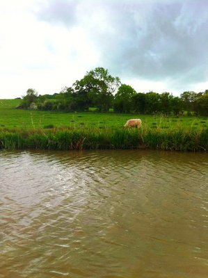 sheep, sheep on canal, wildlife canal, animals canal, narrowboat hire, narowboat trip, canal boat, canal