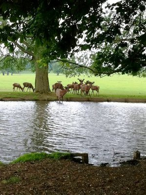 woburn abbey, woburn abbey deer park, woburn abbey wedding, woburn abbey building, woburn deer, woburn abbey deer park, deer, deer park, free roaming deer