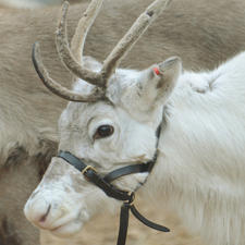 london zoo, christmas, santa, zsl, reindeer,