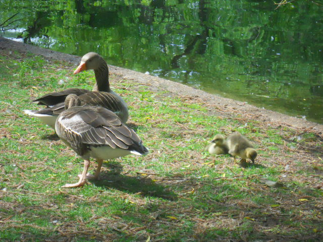 st. James's park, royal park, geese, goslings