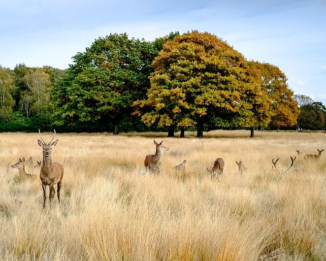 Richmond Park, Deer