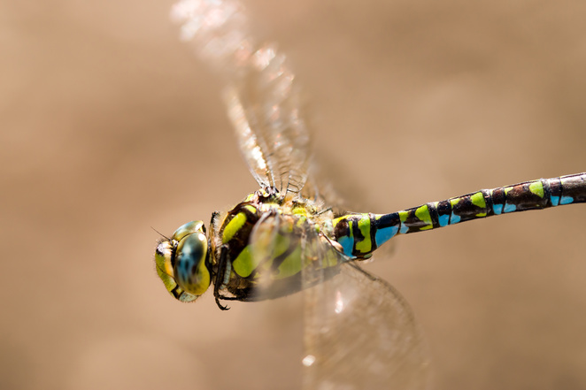 snelsmore, summer activities, days out in Berkshire, wildlife, country park, family picnic, West Berkshire, dragonfly in flight, southern hawker