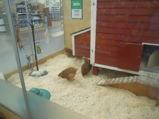 pets at home, chickens