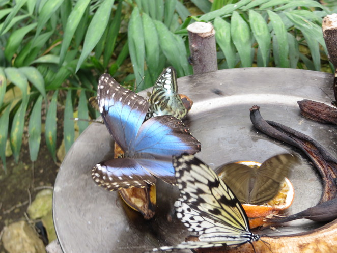 blue morpho, butterfly world, studley grange, wiltshire