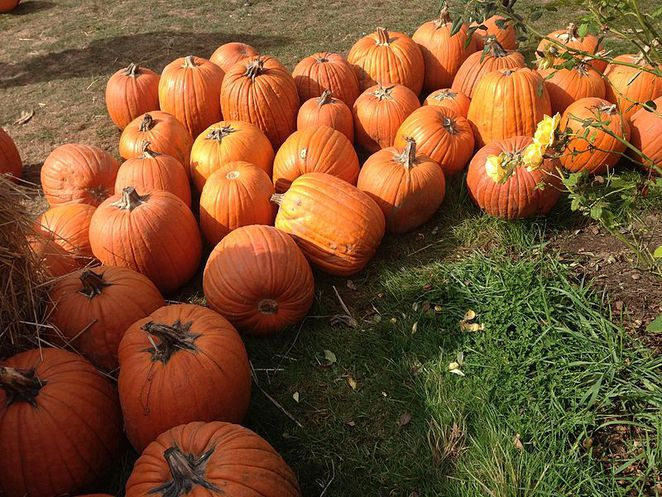 pumpkin, pumpkin patches, Halloween, October,