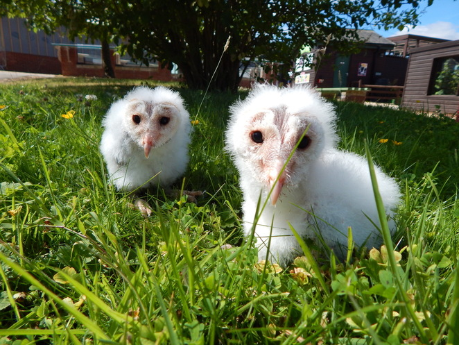 Wisp and Casper. Barn owls