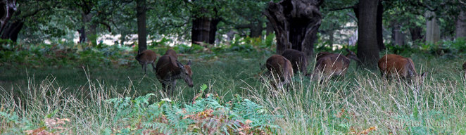 Red Deer Hinds Richmond Park