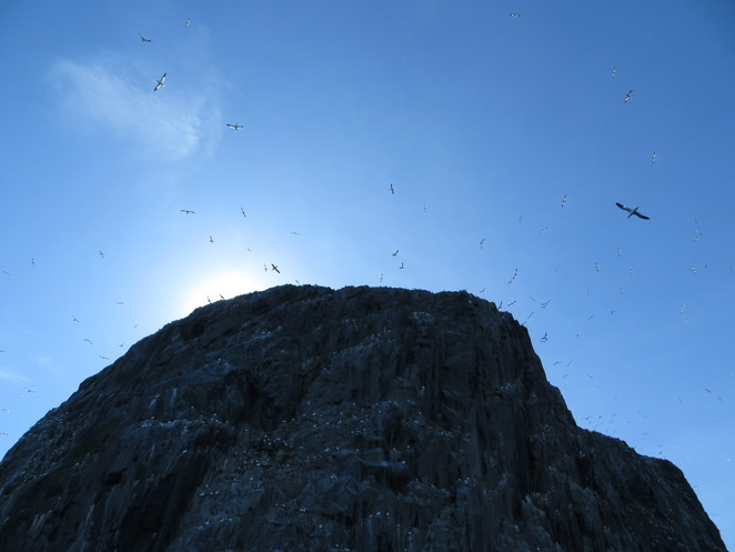 gannets, bass rock, edinburgh, north berwick, firth of forth