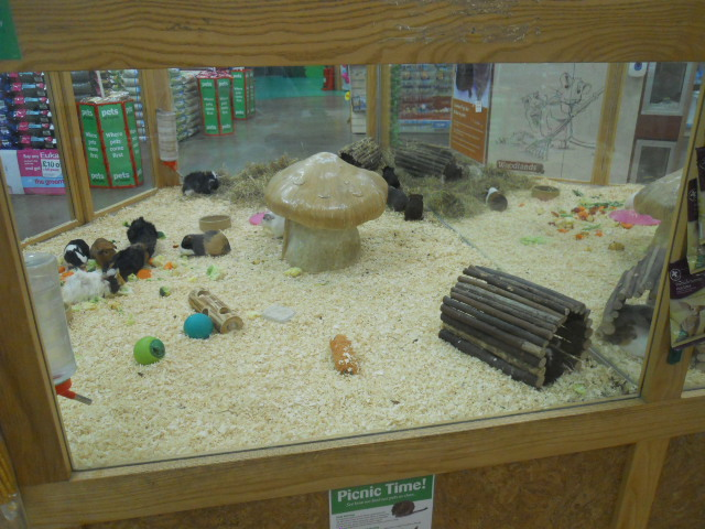 pets at home, guinea pigs
