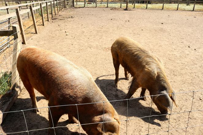 quarr,abbey,isle of wight,england,island,pigs,pig enclosure