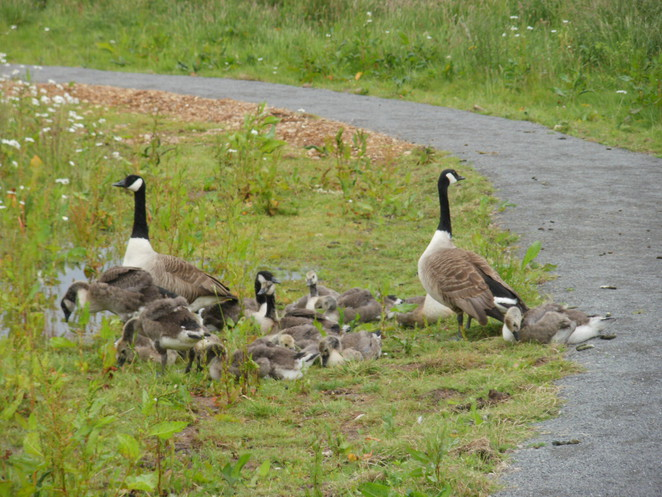 Middleton Lakes, RSPB, nature reserve, Tamworth, Canada geese