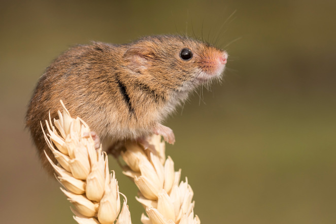 British wildlife, British animals, wildlife photography, things to do in Surrey, photography course, harvest mouse, cute animal photos