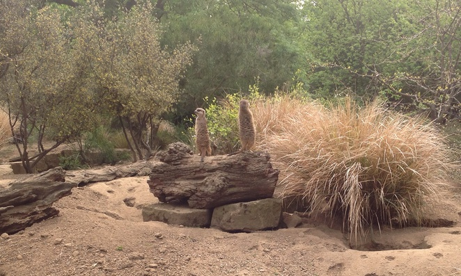 Meerkats, Edinburgh, Zoo