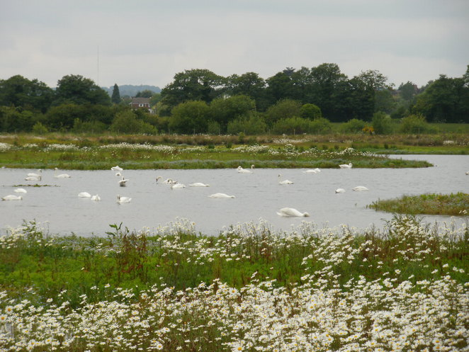 Middleton Lakes, nature reserve, RSPB, Tamworth, swans