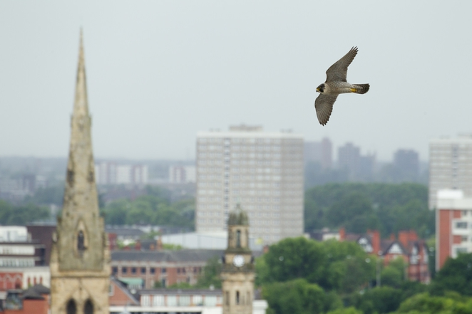 Peregrine Manchester