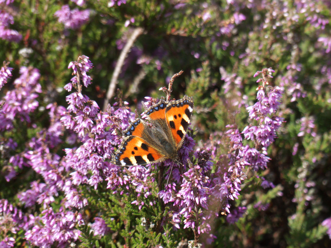 snelsmore, summer activities, days out in Berkshire, wildlife, country park, family picnic, West Berkshire, butterfly, British butterflies