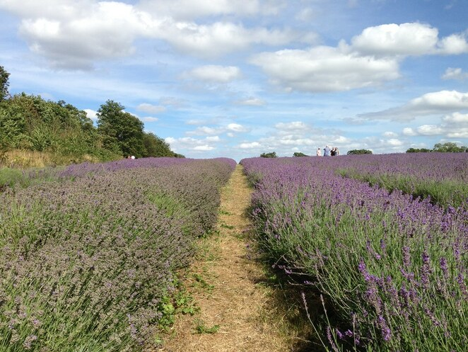 London, Mayfield Lavender Field, long weekend, outdoors, bank holiday, August bank holiday