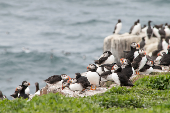 Farne Island puffins, bird spotting in Northumberland, things to do in Northumberland, day trip from Newcastle, family days out, natural wonder, puffin colony, nature