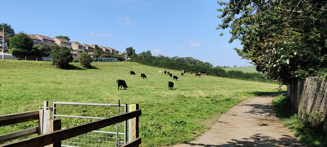 Cows in the community field