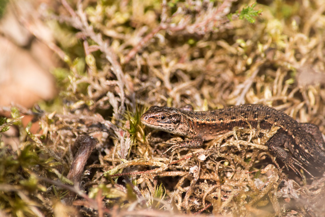 snelsmore, summer activities, days out in Berkshire, wildlife, country park, family picnic, West Berkshire, common lizard, British reptiles